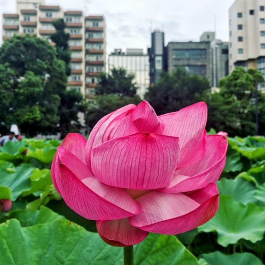Uenon lootuspuisto on yksi suosikeistani Tokiossa. Sen värit ovat kauniit ympäri vuoden.