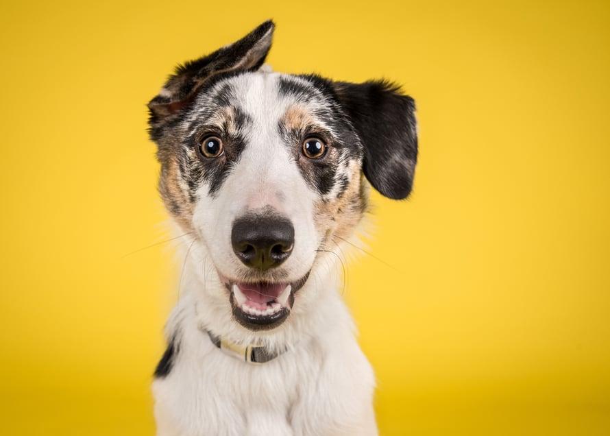 """Koira on sosiaalinen eläin, joka viihtyy parhaiten seurassa. Joskus sille pitää kuitenkin antaa omaa rauhaa. Kuva: <span class=""""photographer"""">Shutterstock</span>"""