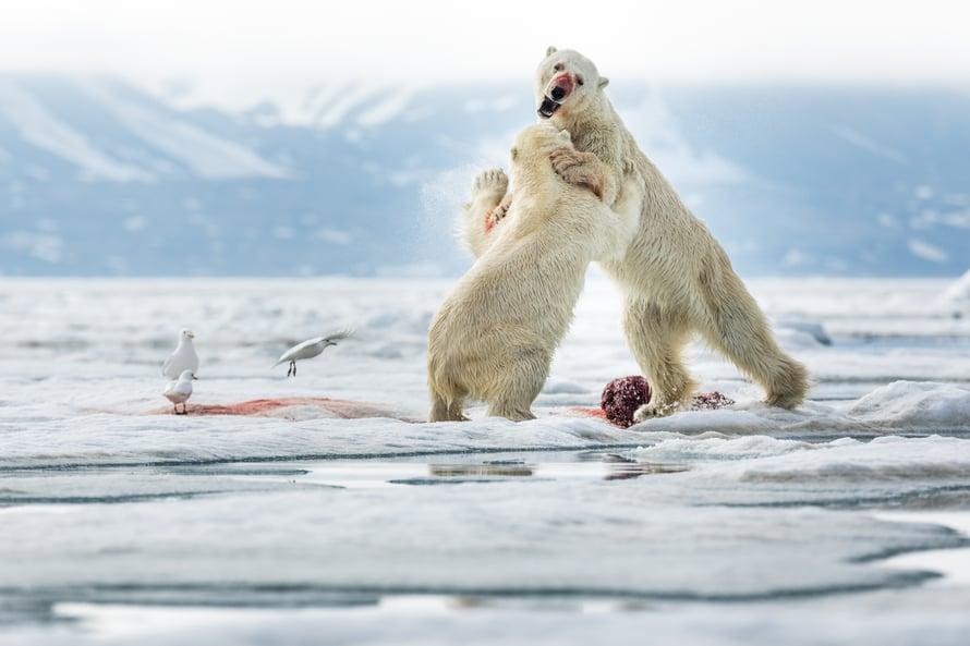 Jääkarhujen ruokailun seuraaminen oli Ristolle ainutlaatuinen kokemus.