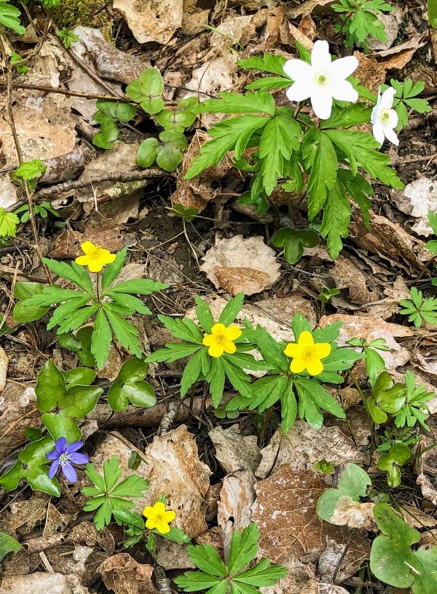 Karkalissa voi keväällä nähdä kolme eri vuokkoa kerralla.
