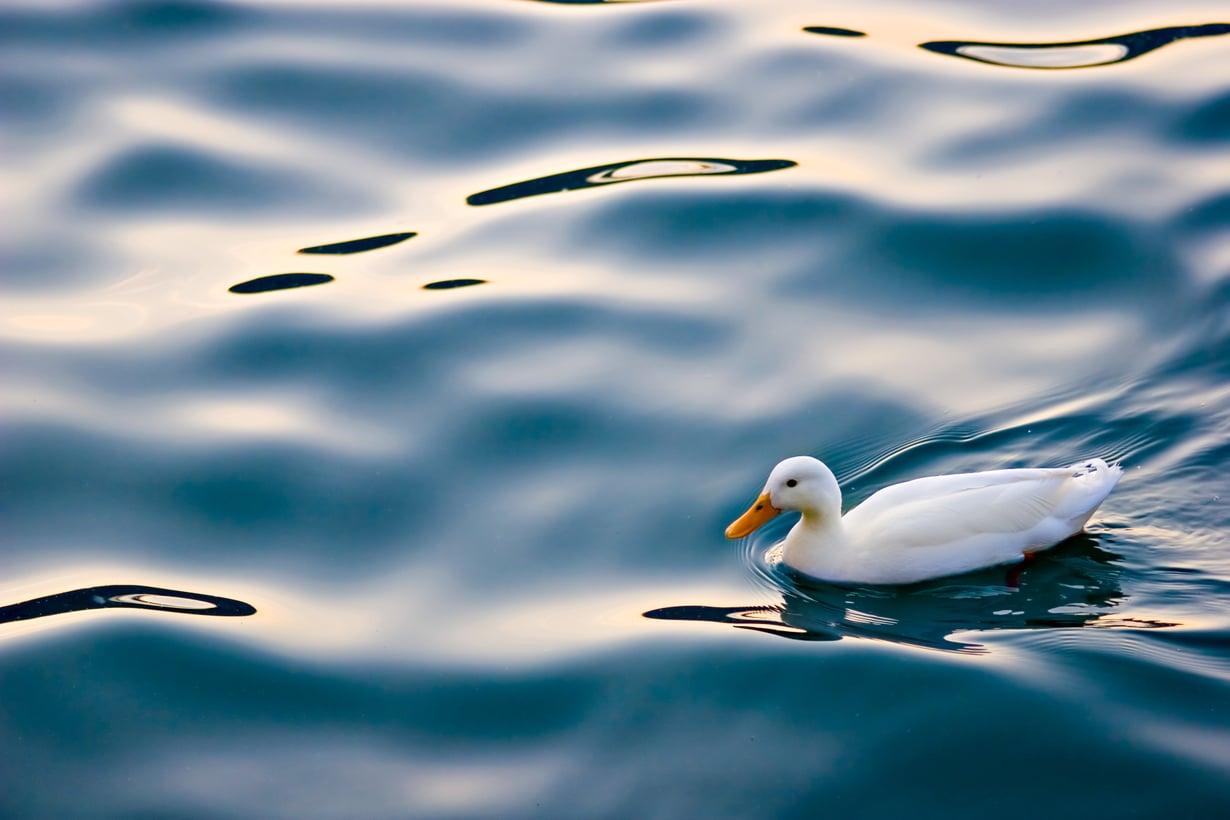Näyttää varsin rauhalliselta, mutta näkisitpä polskinnan pinnan alla. Kuva: Shutterstock