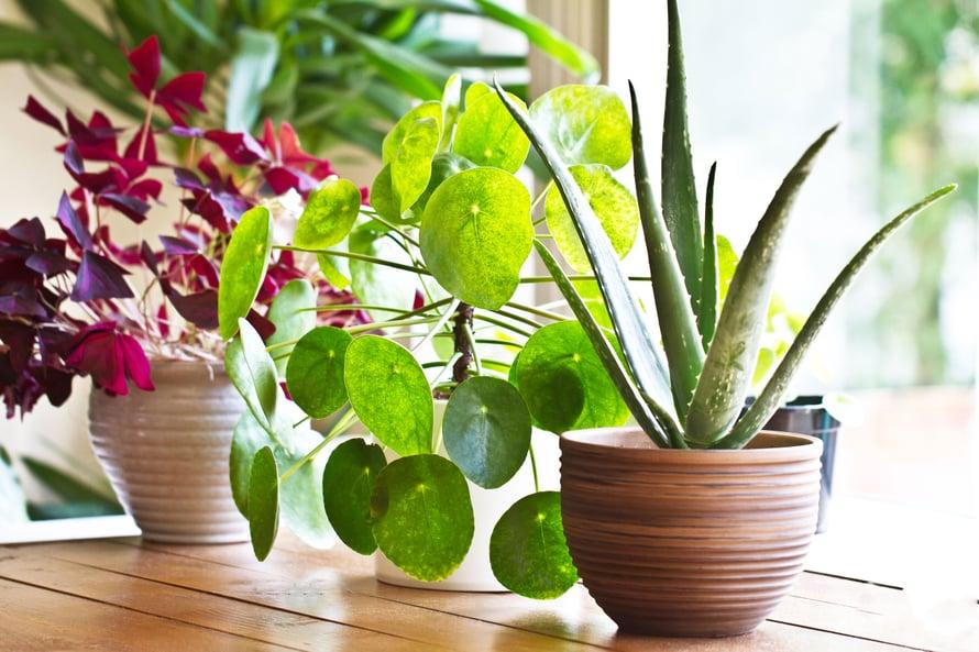 Mitäpä jos tällä viikolla hankkisit kotiin jonkin kivan uuden viherkasvin? Testaa vaikka alkajaisiksi, miten hyvin tunnistaisit ne kaupassa.