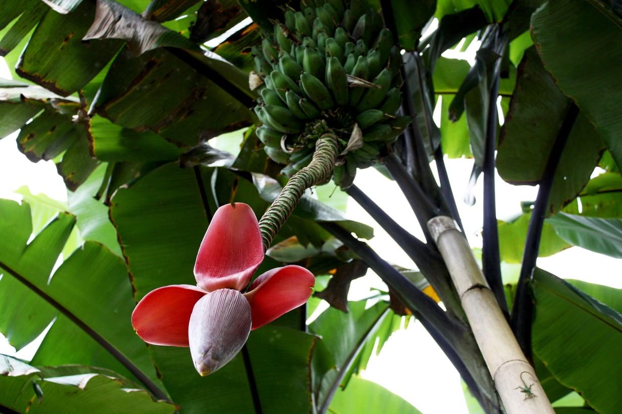 Banaanikasvihan se siinä. Kuvat: Marjut Laukia