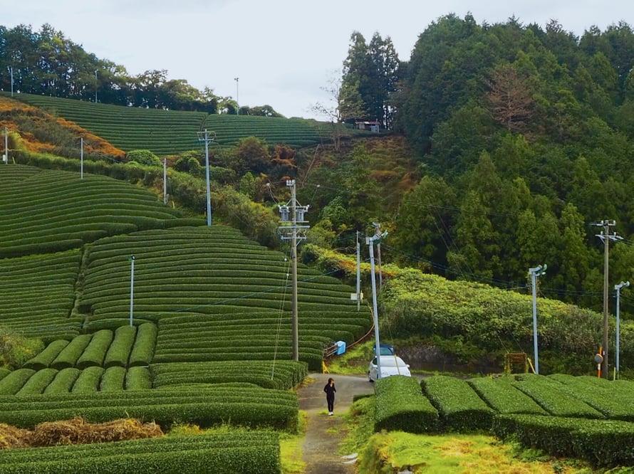 Teeviljelmillä voi vuosittain olla neljäkin satokautta, mutta tänä vuonna Shizuokassa nautitaan kahdesta satokaudesta.