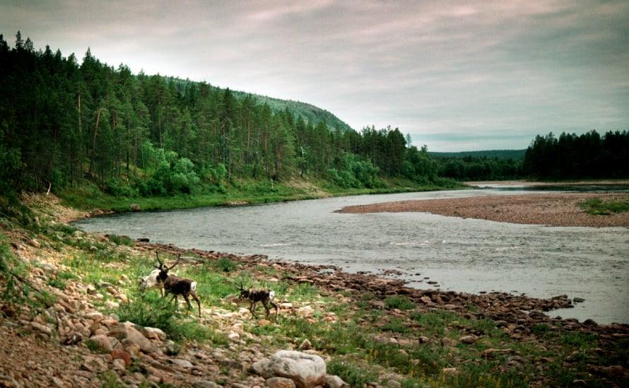 Poroja Ivalojoen rannalla. Kuva: Sanoma-arkisto / Kimmo Taskinen
