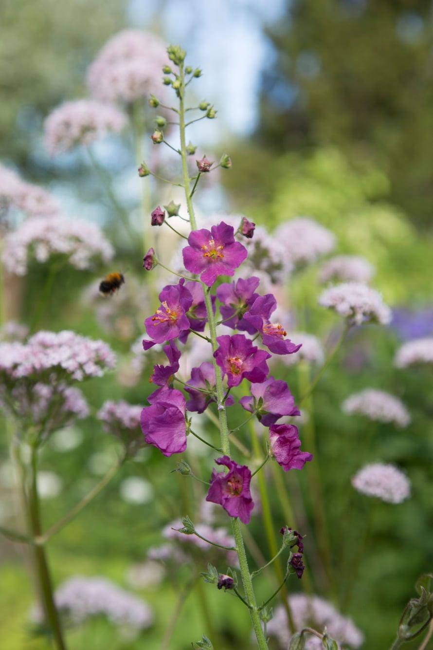Ranskantulikukka leviää pitkin puutarhaa. Taustalla kukkiva rohtovirmajuuri on hyvä mesikasvi pölyttäjille.
