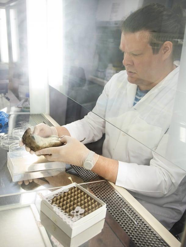 Tuomas Aivelo ottaa yhdestä rotasta 17 näytettä. Niistä tunnistetaan esimerkiksi rotan ikä, virukset ja lihaksiston loiset.