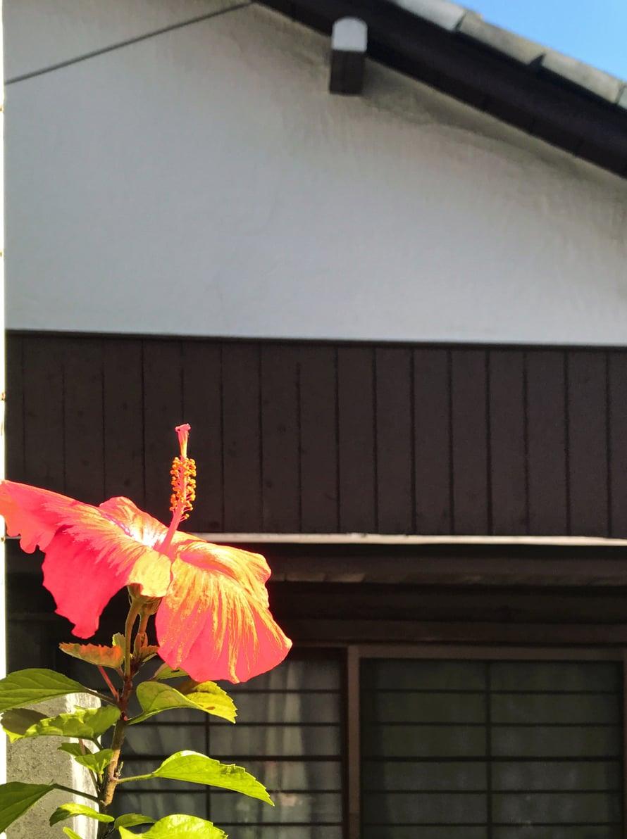 Marraskuun kukkaloistoa tokiolaiskotini edustalla.