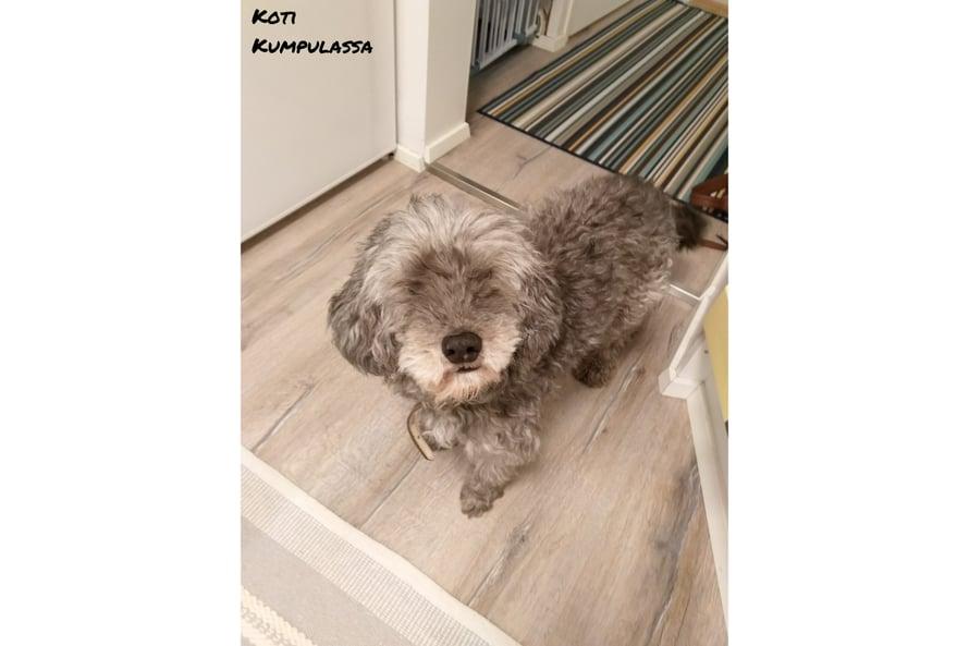 Meidän kodissa ei enää asu koira vaan se on nyt koiraton koti.