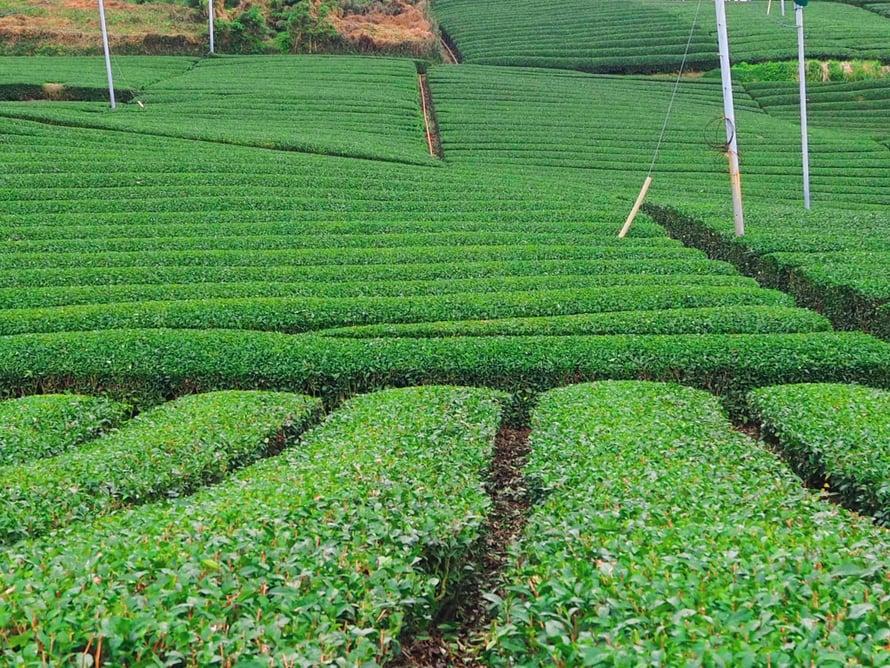Teepeltojen isäntä, Akito innostui teestä kunnolla vasta muutama vuosi sitten. Hänen mielestään tee oli siihen asti kuin vettä. Neutraali asia, jota nautittiin jokaisella aterialla.