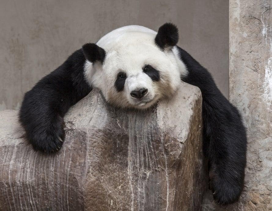 """Oletko aamuisin kuin pandakarhu ja liian väsynyt noustaksesi ylös? Taikasana on ikigai. Kuva: <span class=""""photographer"""">Shutterstock</span>"""