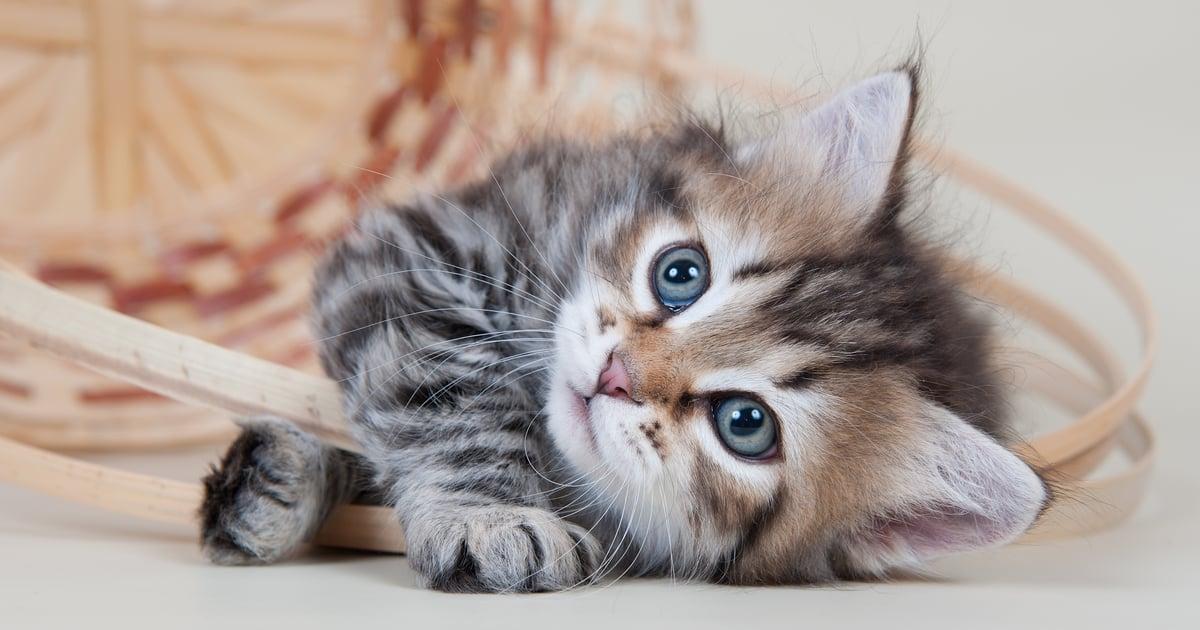 Miksi Kissa Puskee