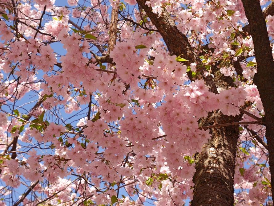 Kunsträdgårdenin kirsikkapuut olivat täydessä kukassa huhtikuun lopussa.