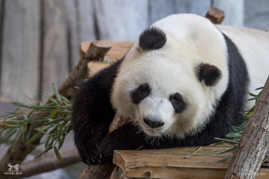 Ähtärin pandojen nimet ovat Lumi ja Pyry. Kuva: Ähtäri Zoo