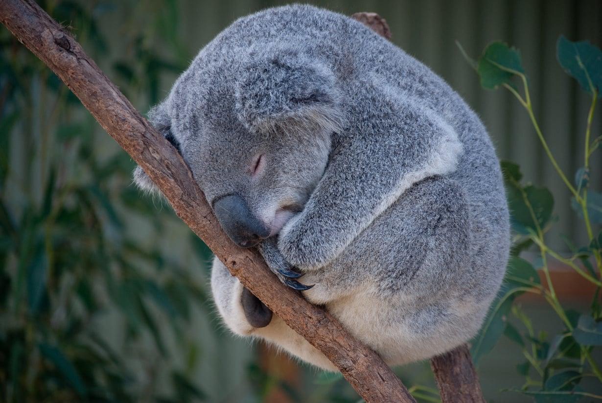 Tekisikö välillä mieli vaihtaa osia koalan kanssa? Kuva: Shutterstock