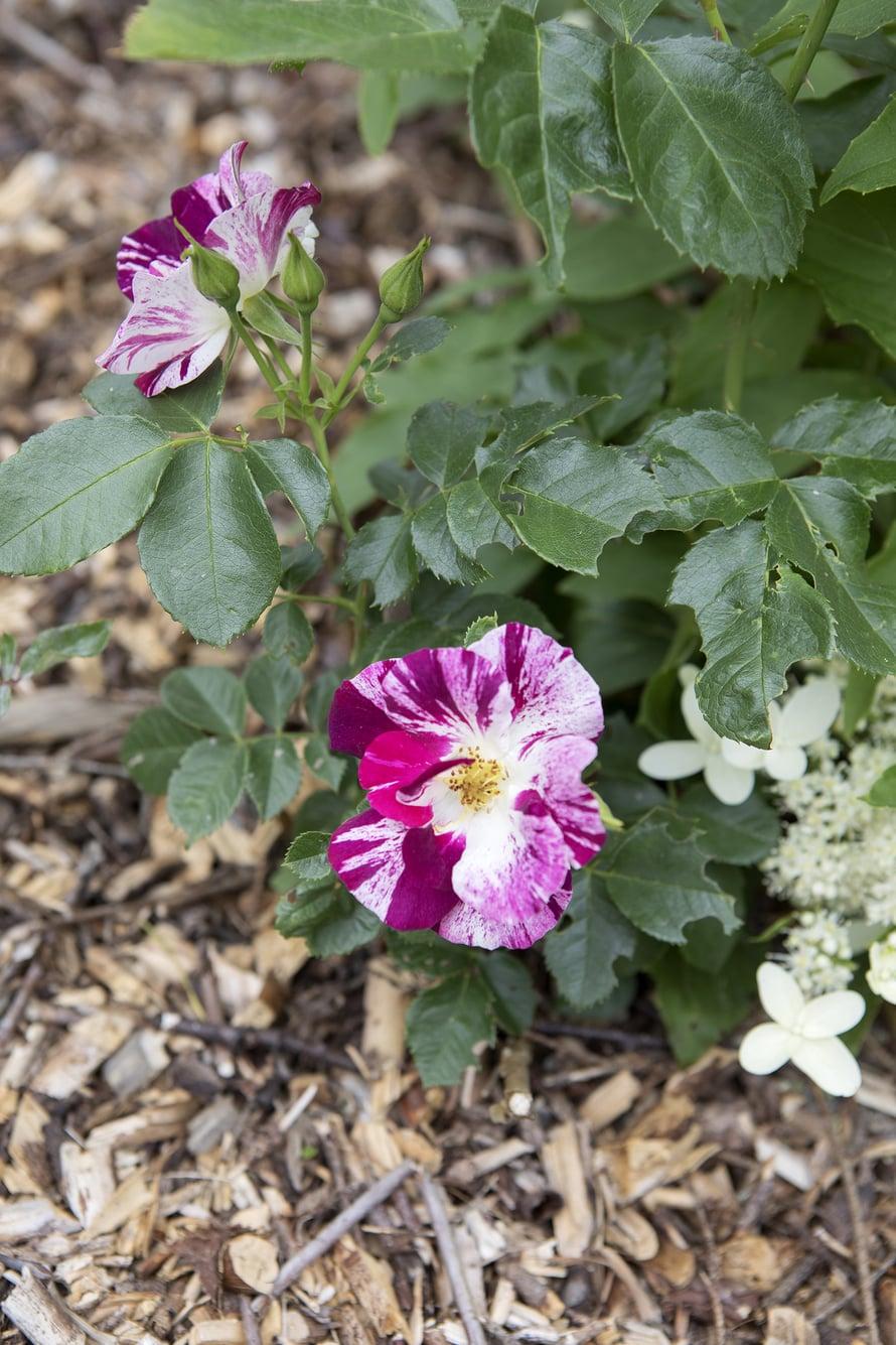 Puutarhassa on paljon kukkia, jotka ovat kasvaneet siellä vuosikymmeniä, mutta myös uusia tulokkaita. Tämä kaunis ruusu löytyi Lidlin halpakorista.