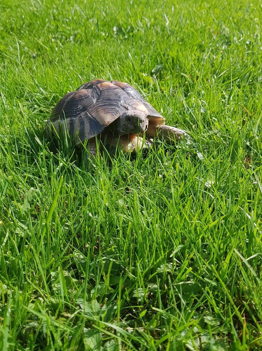 Reunuskilpikonna