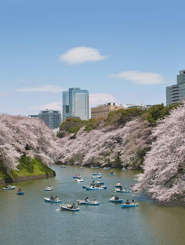 """Kirsikkapuiden kukinta tuo keväällä ennätysmäärän turisteja Japaniin. Kuva: <span class=""""photographer"""">Shutterstock</span>"""