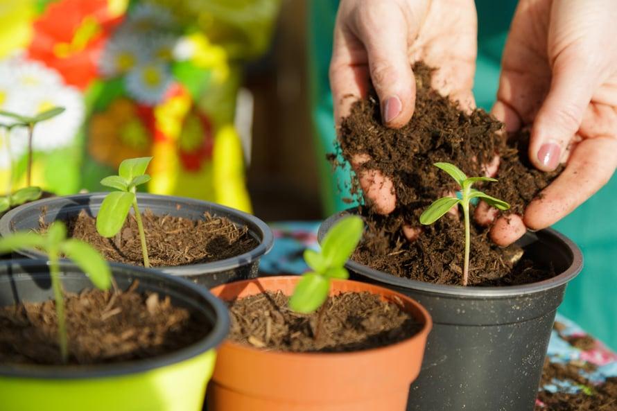 Pistokkaat voi juurruttaa joko vedessä tai ilmavassa taimimullassa.