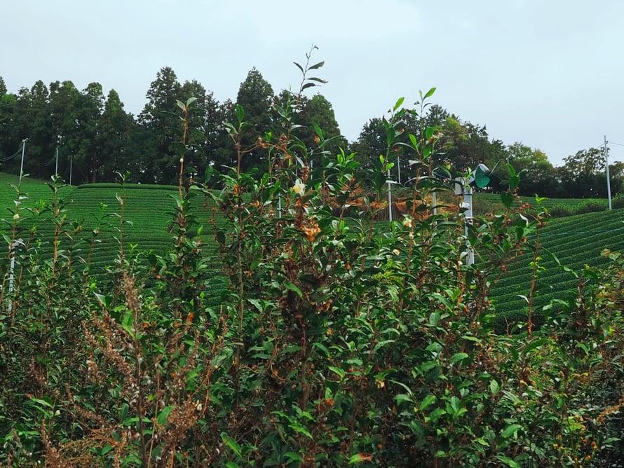 Tältä näyttää hylätty teeviljelmä, ja niitä on valitettavasti paljon Shizuokassakin.