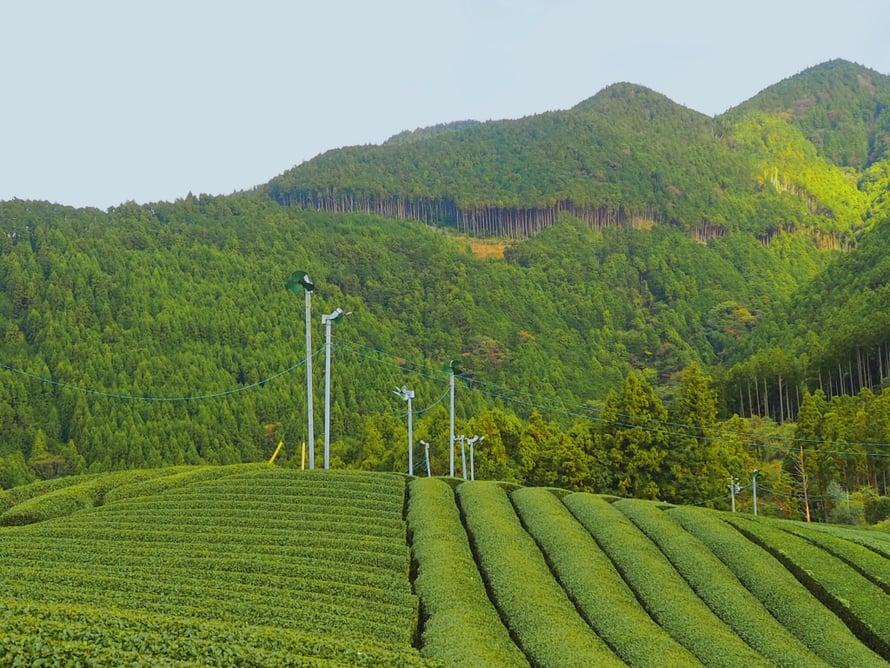 Vuonna 2018 näillä pelloilla on teetä poimittu huhti- ja lokakuussa.