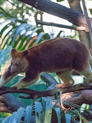 Puukengurut viihtyvät puissa, vaikka niiden takajalat eivät ole aivan parhaat mahdolliset kiipeilyyn.