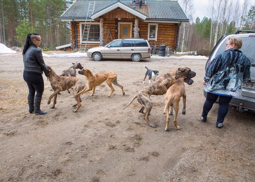 Veera Riekkisen kotona kasvatetaan tanskandoggeja.