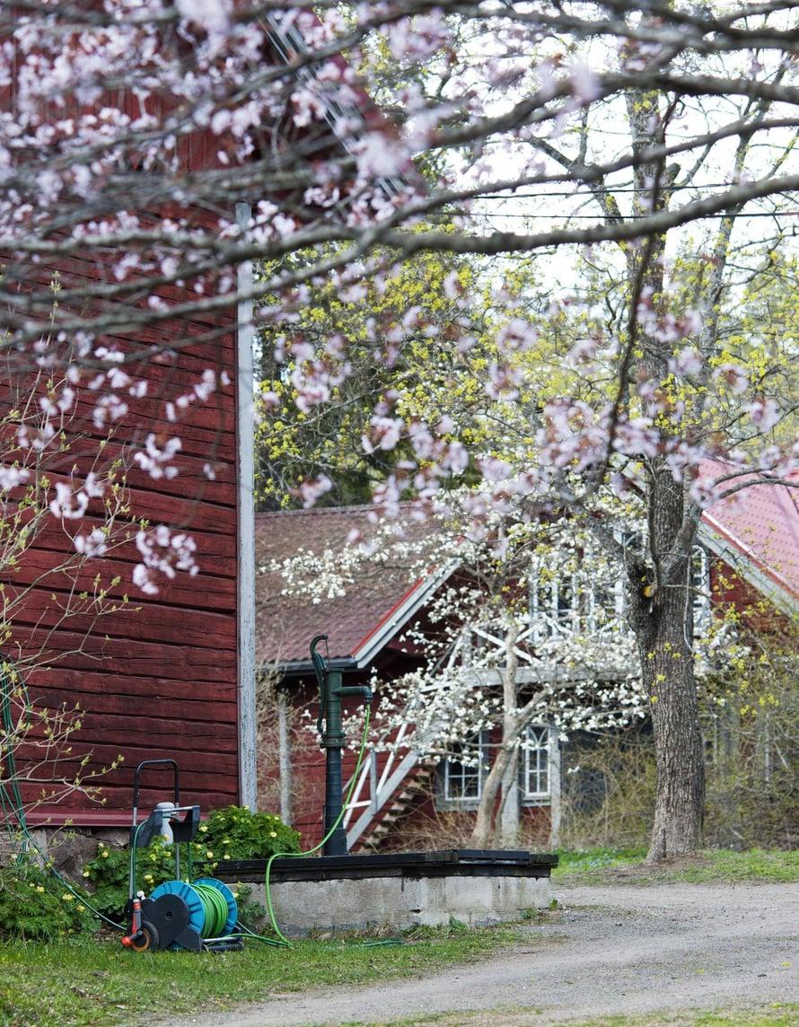 Monet Mustilan arboretumin istutuksista ovat jo sata vuotta vanhoja.