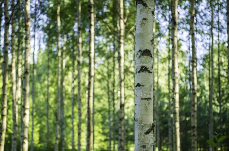 Luulitko tuntevasi kaikki Suomen puut? Tee 14 kysymyksen testi, jonka tulos voi vetää nöyräksi