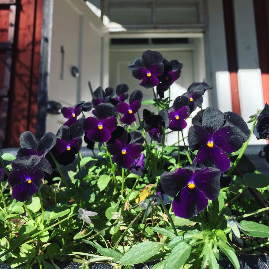 Nämä mokomat ovat kukkineet jo toukokuusta lähtien. Mutta mitä ne sanovat ensilumesta?