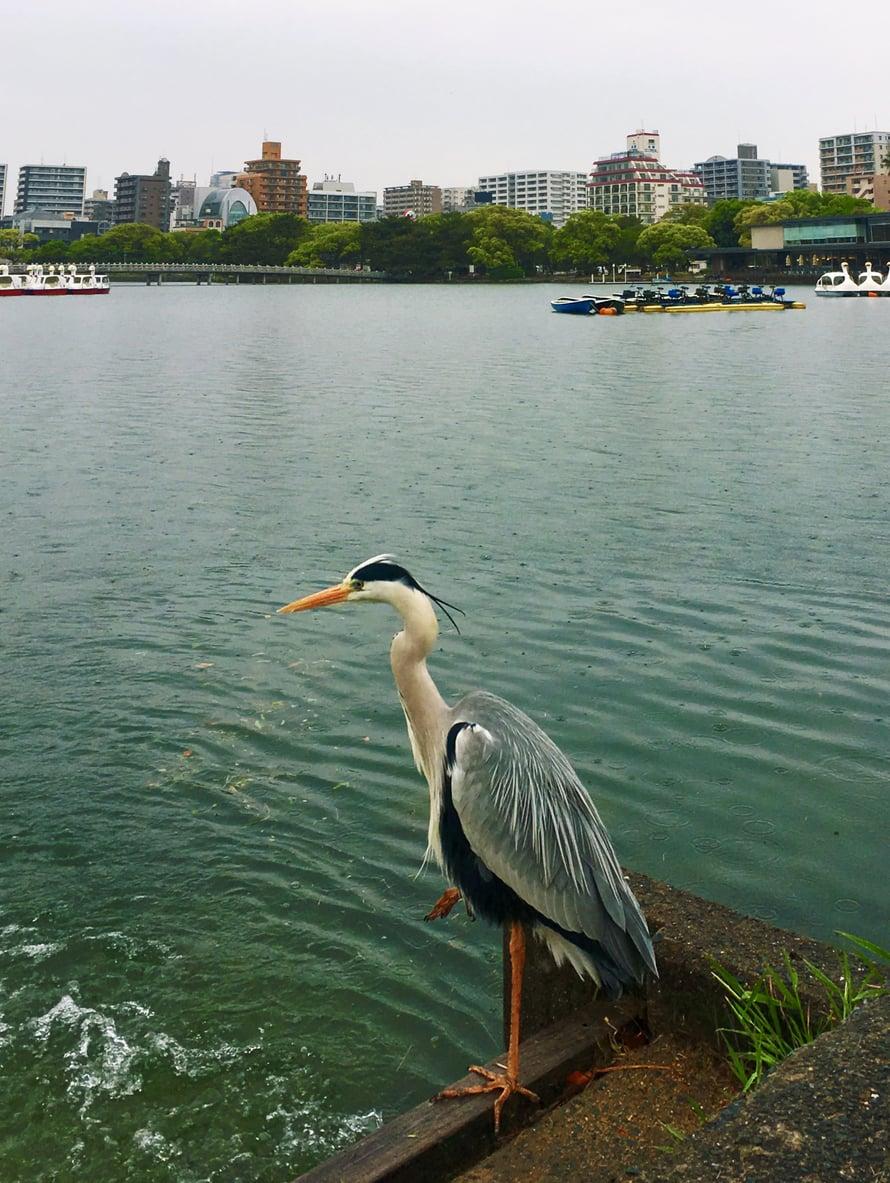 Japanissa haikaraa pidetään älykkäänä lintuna, joka symboloi monia asioita: rikkautta, rakkautta ja sivistystä. Siksipä linnut kuvittavat tätä postaustani.